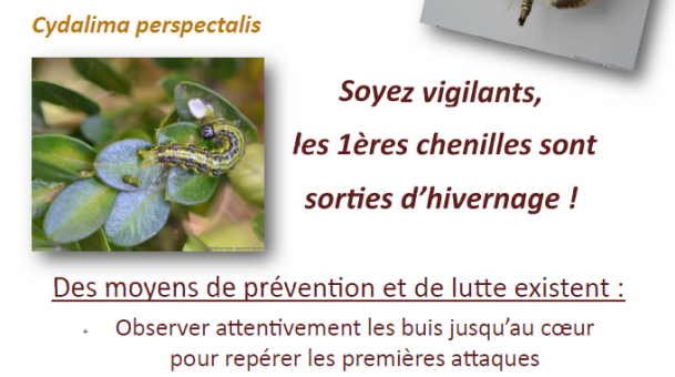 Informations Pyrale du Buis